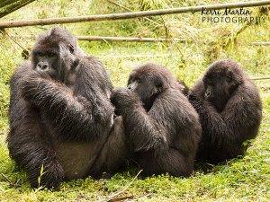 Grooming Gorillas, Rwanda