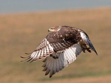 Hawks, Falcons, Osprey