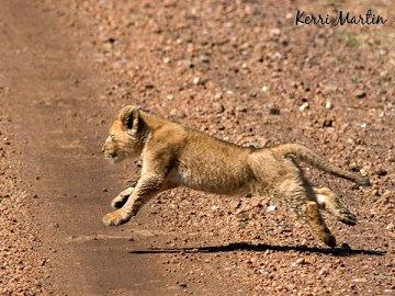 2 month old lion cub