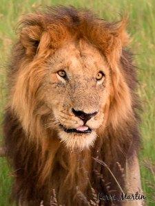 Male Lion, Maasai Mara Reserve, Kenya