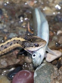 Garter Snake with Minnow