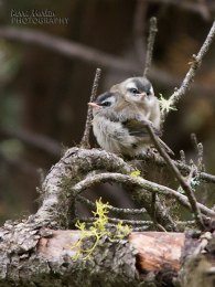 Golden Crowned Kinglet Fledglings