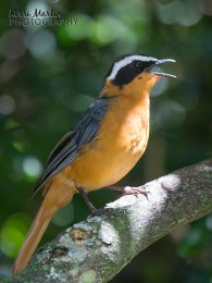 Ruppell's Robin Chat