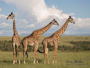Three Giraffes