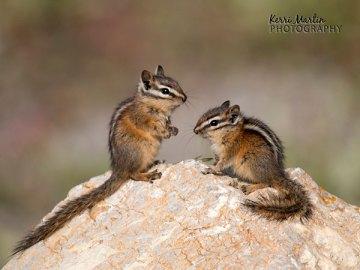 Two Chipmunks