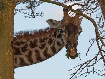 Giraffes, Elephants, Hippos