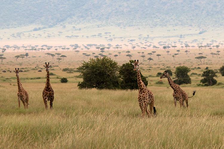 GiraffeonthePlains