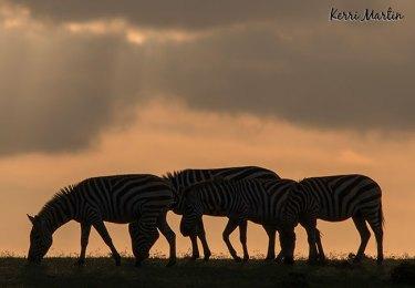 Zebras Silhouette