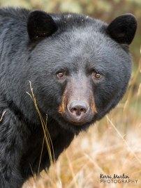 'Gentle eyes' Black bear