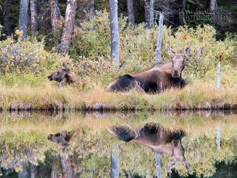 Moose Reflection
