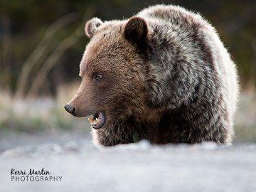 Grizzly 152