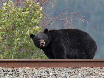 Black bear on tracks