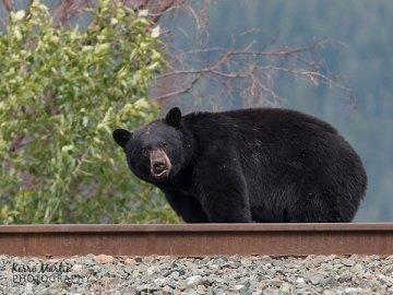 Black bear on tracks