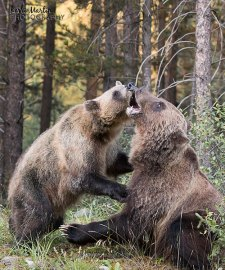 Banff Grizzly Bear 142 and 126