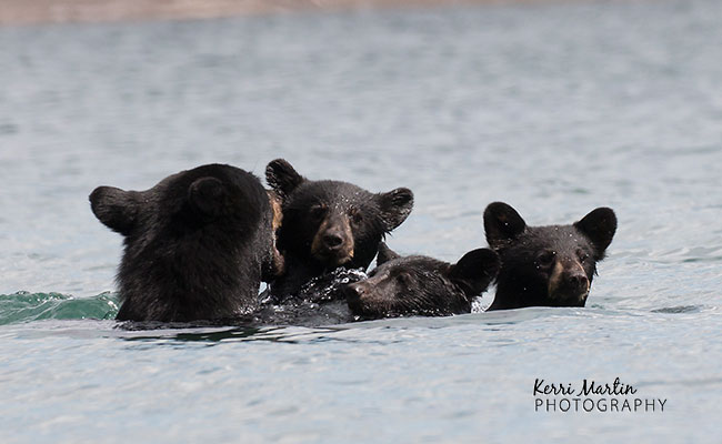 swimmingblackbear3