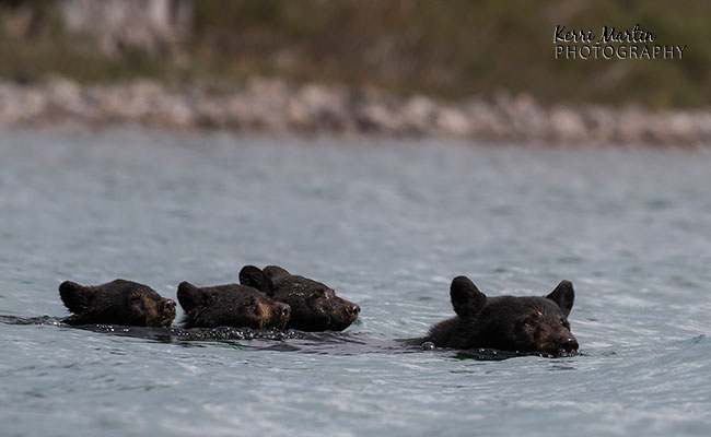 swimmingblackbear4