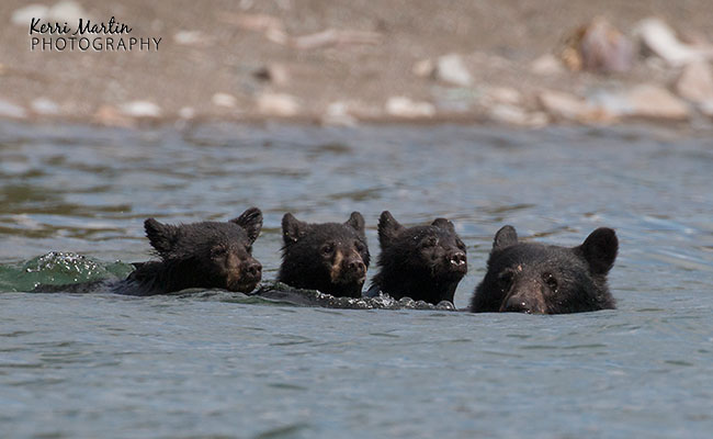 swimmingblackbear5