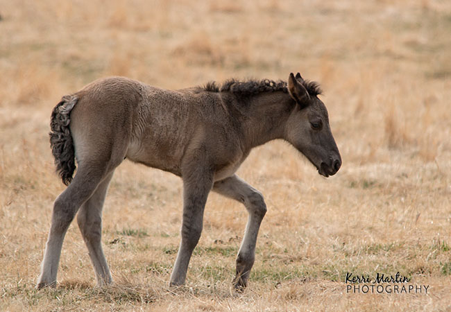 Wild Foal, West of Sundre, AB