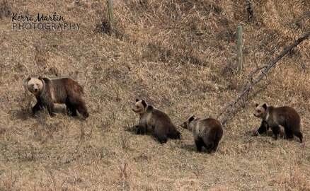 Grizzly family of four