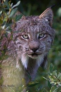 Canadian Lynx Yawn - Kananaskis, AB