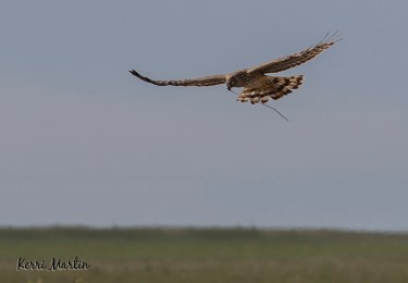 Female Norther Harrier