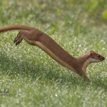Willy the wonder weasel saves the day for two disappointed photographers