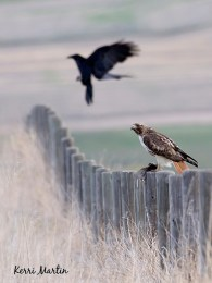 Red-tailed Hawk vs. Raven