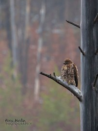 Small Red-tailed Hawk