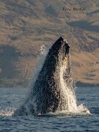 Humpback Whale Head Slap