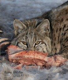 Bobcat3
