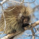 Two porcupines inspire a Master's Project in ethical wildlife photography