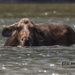 Beyond the photo: Moose in water inspires renewed faith in humanity