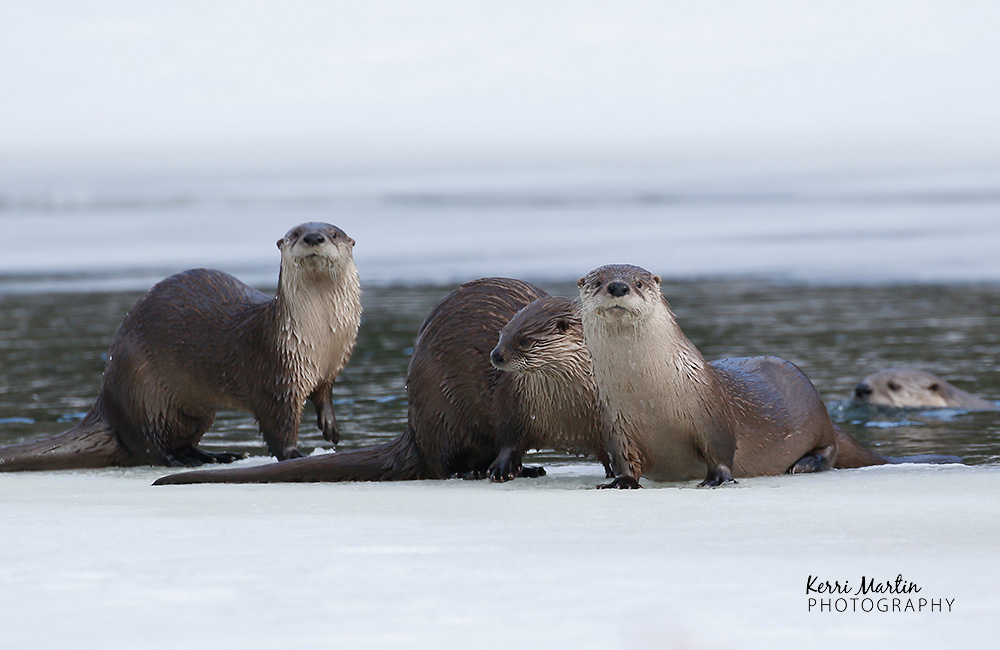 Two Photographers out-smart a Northern River Otter (sort of)