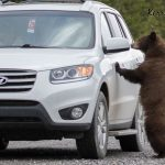 Cinnamon the black bear: food-conditioned or naturally curious?