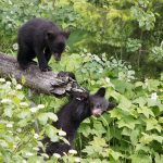 A 'top of the log' performance: starring three little bears