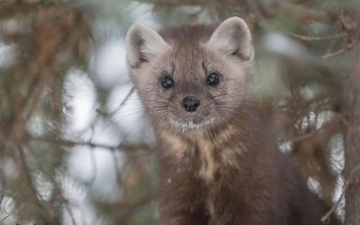 Weasel Energy: A Martin's Quest for a Marten