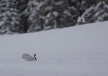 SnowshoeHare08