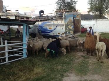 Herding the Animals