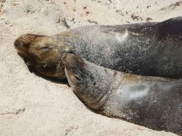 Snuggly Sealions