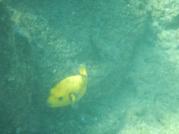 Yellow pufferfish