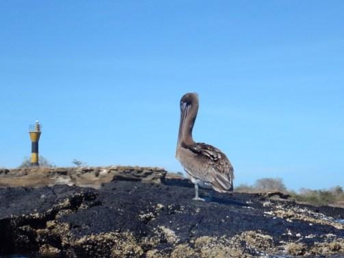 Ubiquitous Pelican
