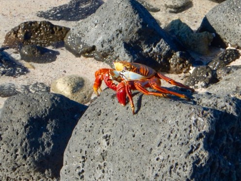 Sally Lightfoot Crab