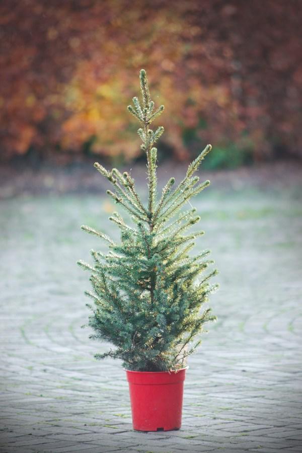 Kerstboombezorging.nl servische spar picea omorika kerstboom bestellen kopen bezorgen nijmegen