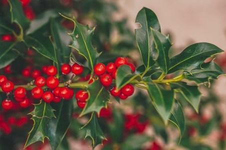 kerstplant-rode-besjes-hulst