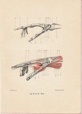 human-body-vintage-scientific-illustration-naturalist-drawing-0007