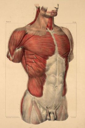 human-body-vintage-scientific-illustration-naturalist-drawing-0030