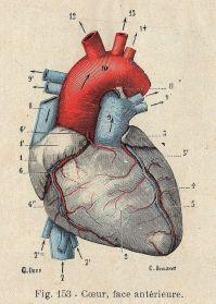human-body-vintage-scientific-illustration-naturalist-drawing-0038