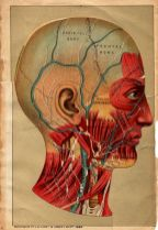 human-body-vintage-scientific-illustration-naturalist-drawing-0039