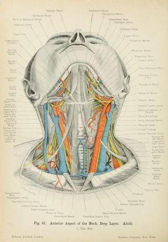 human-body-vintage-scientific-illustration-naturalist-drawing-0041