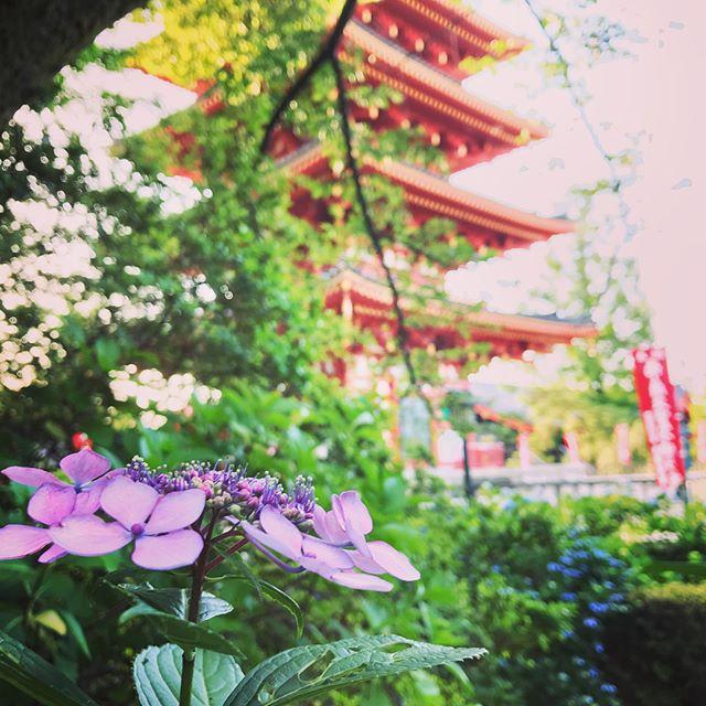 高幡不動の紫陽花